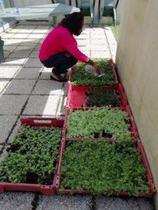 Don de plants pour le jardin thérapeutique